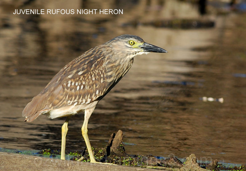 Rufous Night Heron (juvenile)