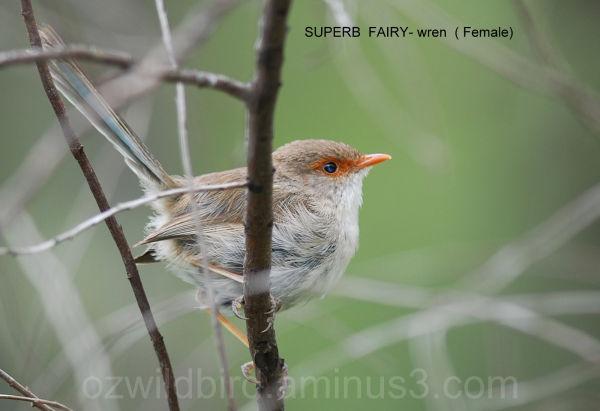 Superb Fairy-wren (female)
