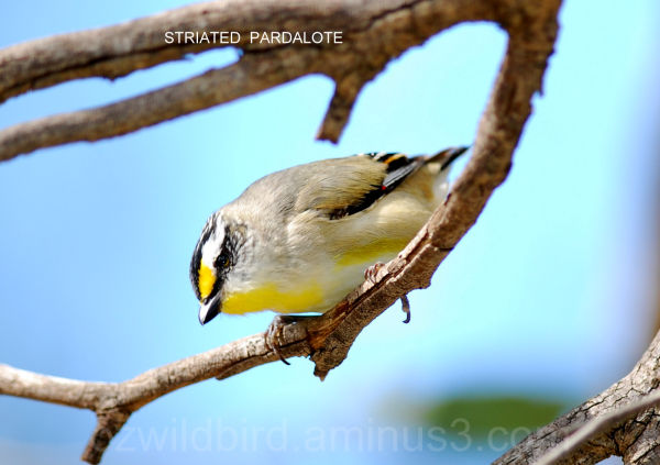 Australian Bird  Striated Pardalote