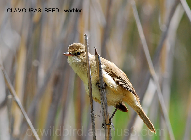 Clamouras Reed-warbler