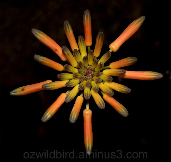 Aloe Vera flower