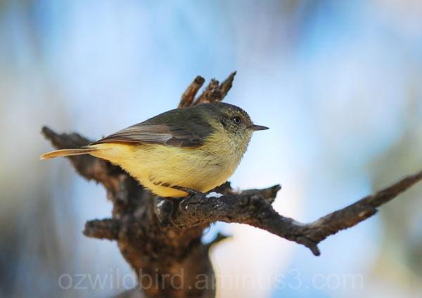 Yellow (Little) Thornbill   Wildbird  Australia