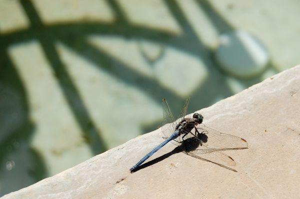 Dragonfly (Orthetrum chrysostigma)