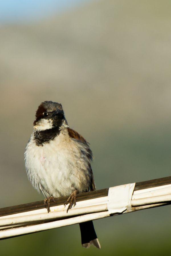 Photograph of a House Sparrow