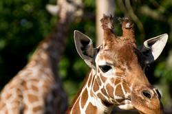 A Giraffe captured at Whipsnade Zoo