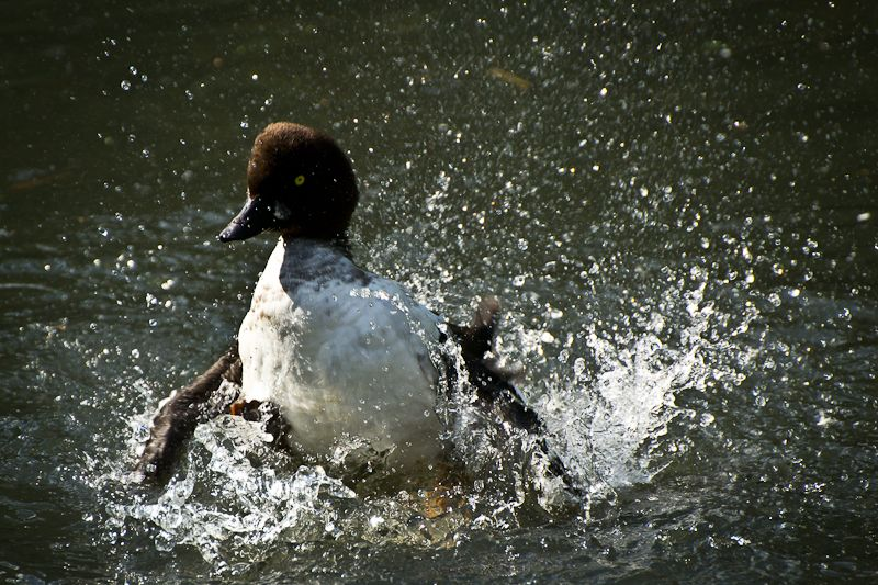 Tufted Duck, captured at the London Wetland Centre