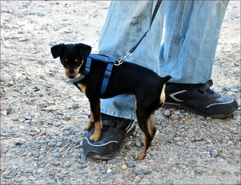 Tiny dog on man's foot