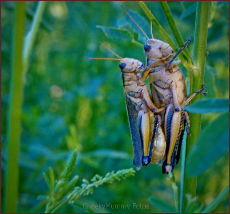 Grasshoppers together.