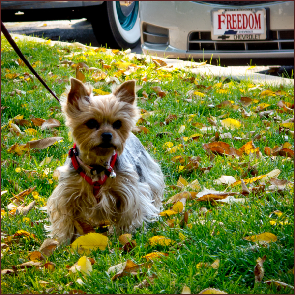 Tiny Yorkshire Terrier in park