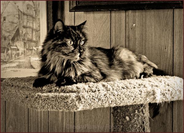 Calico Cat resting