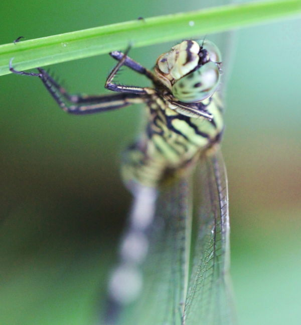 Green dragonfly!