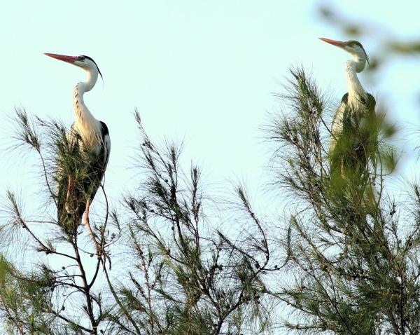 2 grey herons on watch duty!