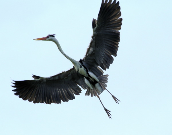 Grey Heron (5)