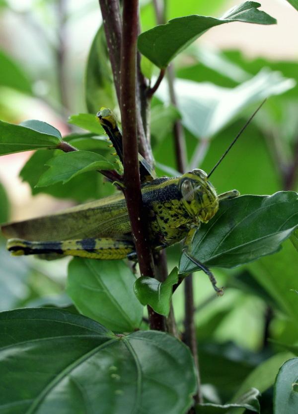 Grasshopper camouflage?