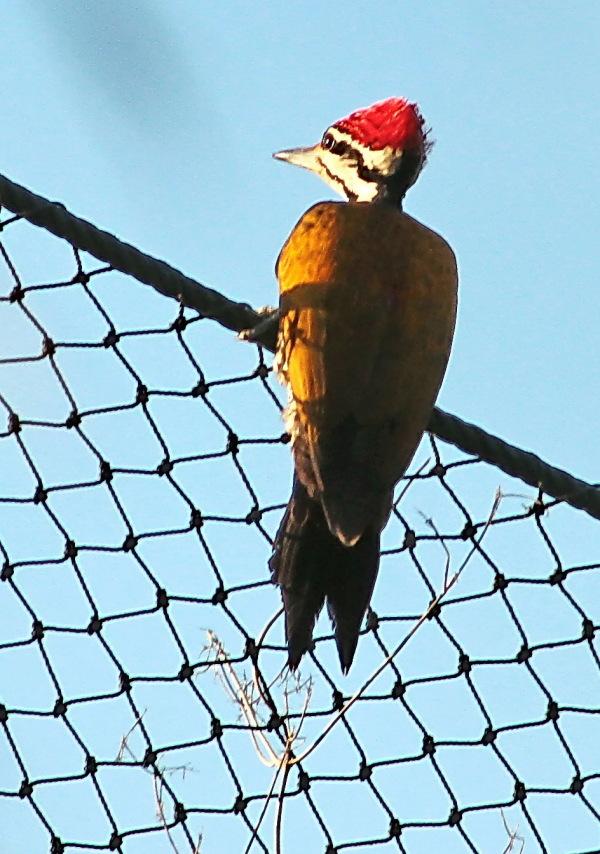 Common Flameback woodpecker!