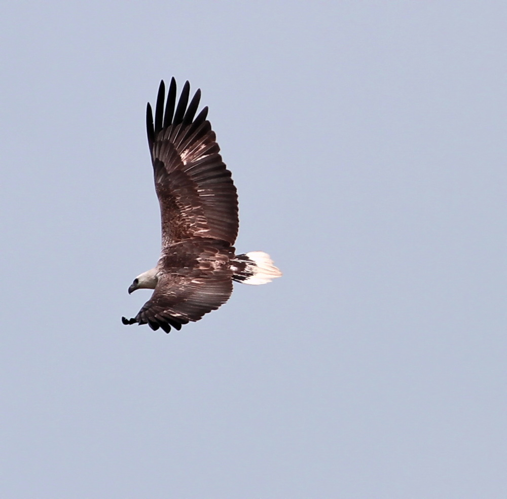 Flight of the White Bellied Sea Eagle (1)
