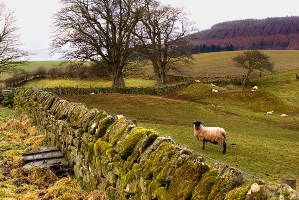 Watching lamb