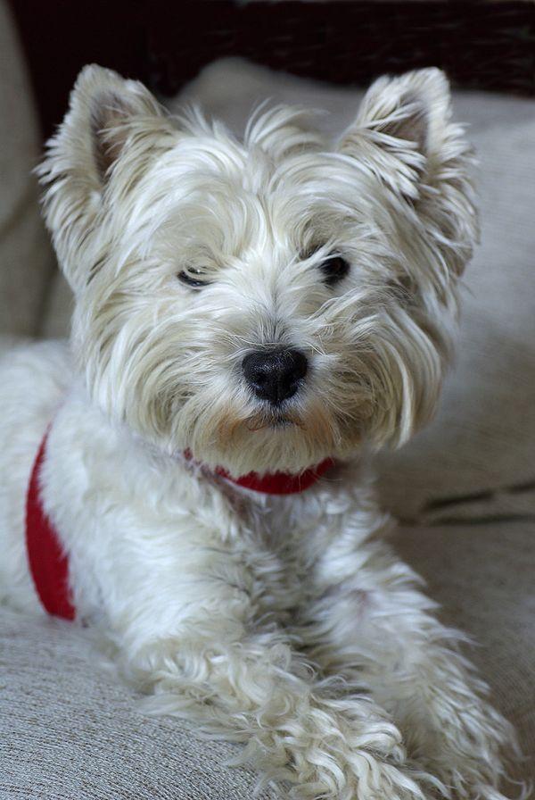 Canine model....