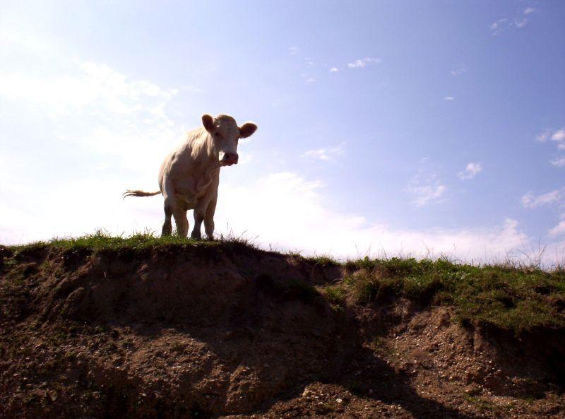 Les vaches de Meuse