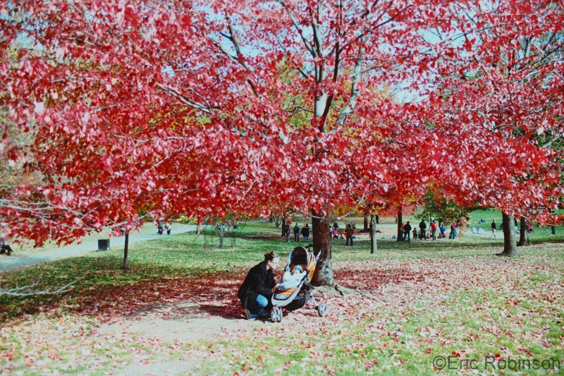 Prospect Park Maple Tree