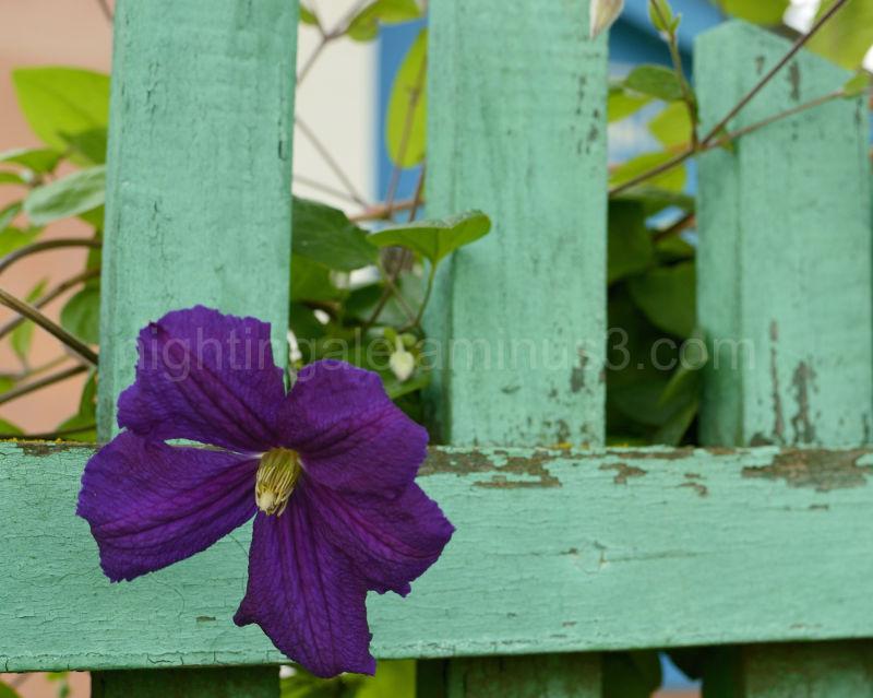 A purple flower reaches through a fence