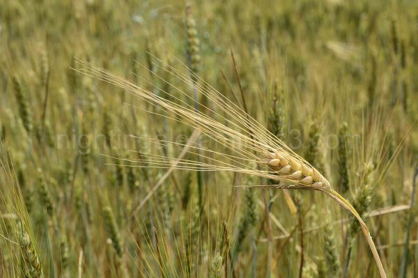 A golden head of barley peeks over a field