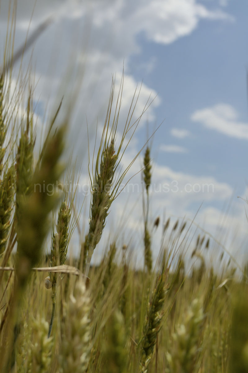 Unique perspective in a field of golden barley