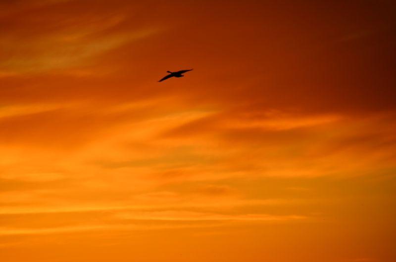 Goose flying at sunrise