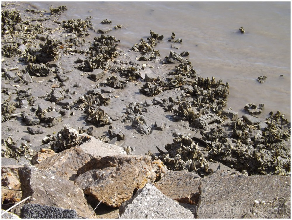 Oyster bed revealed during low tide