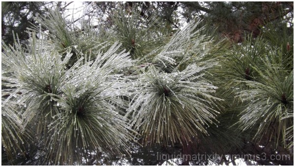 Iced Pines
