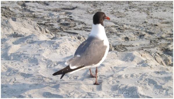 Gull Study 4