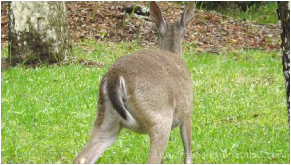 Deer on Seabrook Island