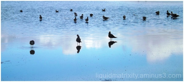 Blue Gulls Reflecting