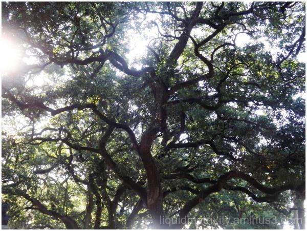 Rookery Oak