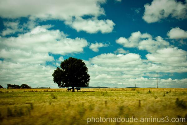 Australian Capital Territory, arbre, chevaux
