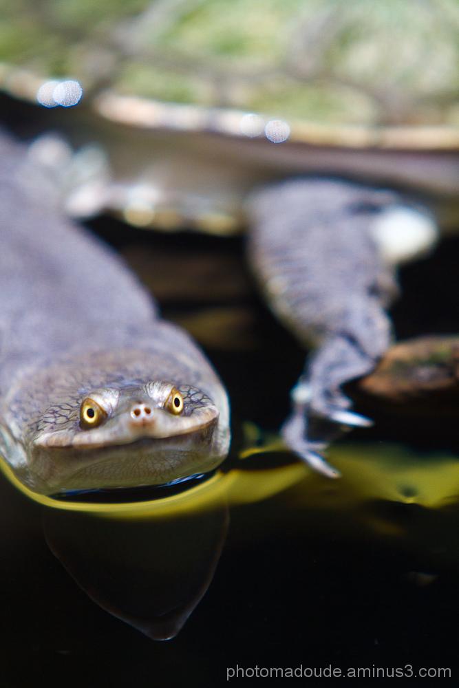Chelodina longicollis, tortue d'australie