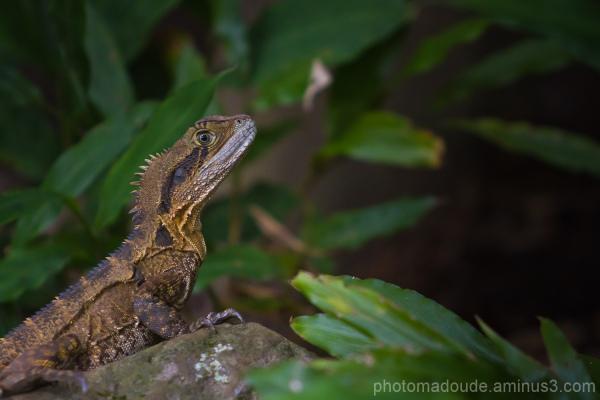 Australie Lézard Reptile