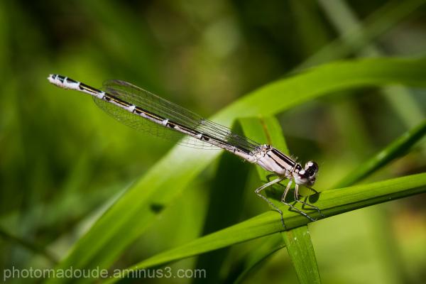 Macro Libellule insecte