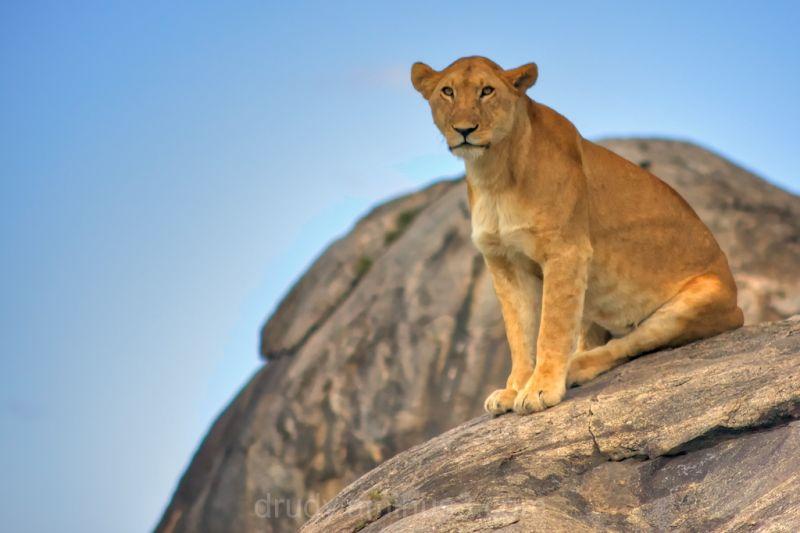 Lioness, lion, Serengeti, africa, maneater