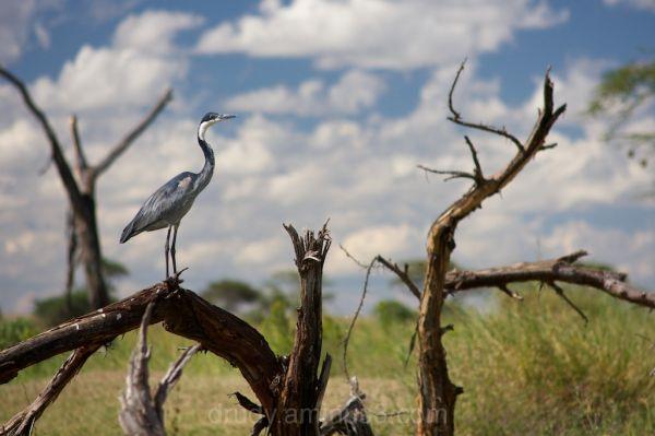 black headed heron, bird, perched, africa