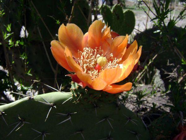 Flor de nopal