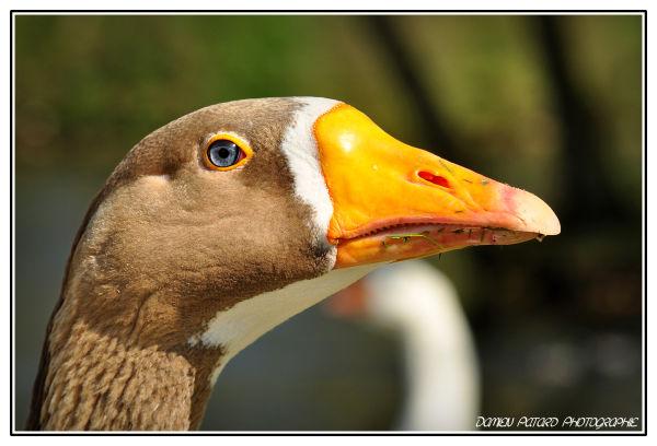 Goose eye