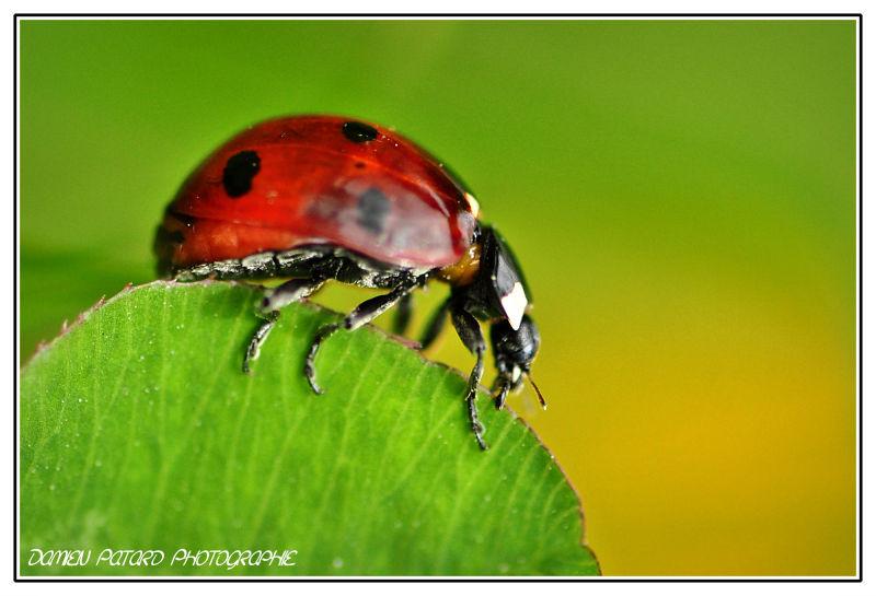 coccinelle macro microcosmos insecte coléoptère