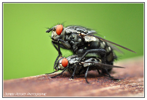 mouche fly insect macro soumission insecte