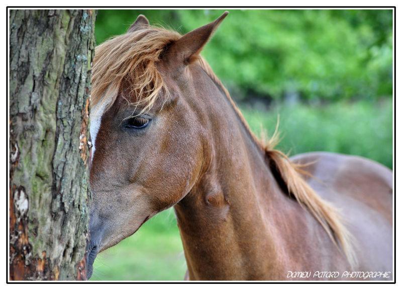 caché derrière Voulzy cheval poney crinière