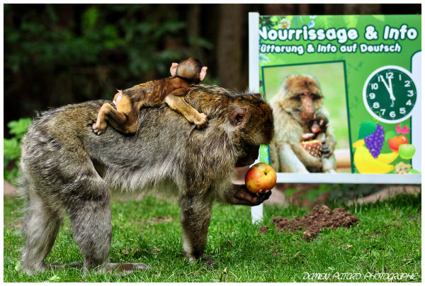 montagne singe monkey Alsace macaques barbarie