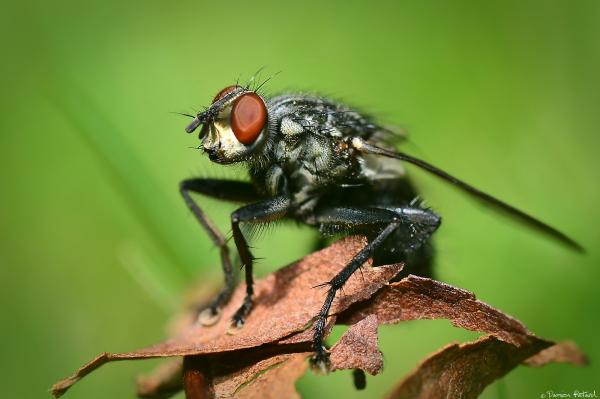 mouche macrophotographie insecte yeux