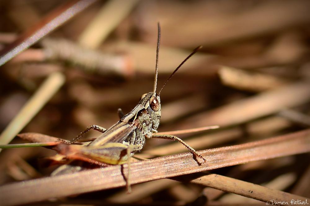 criquet macrophotographie insecte yeux gemini