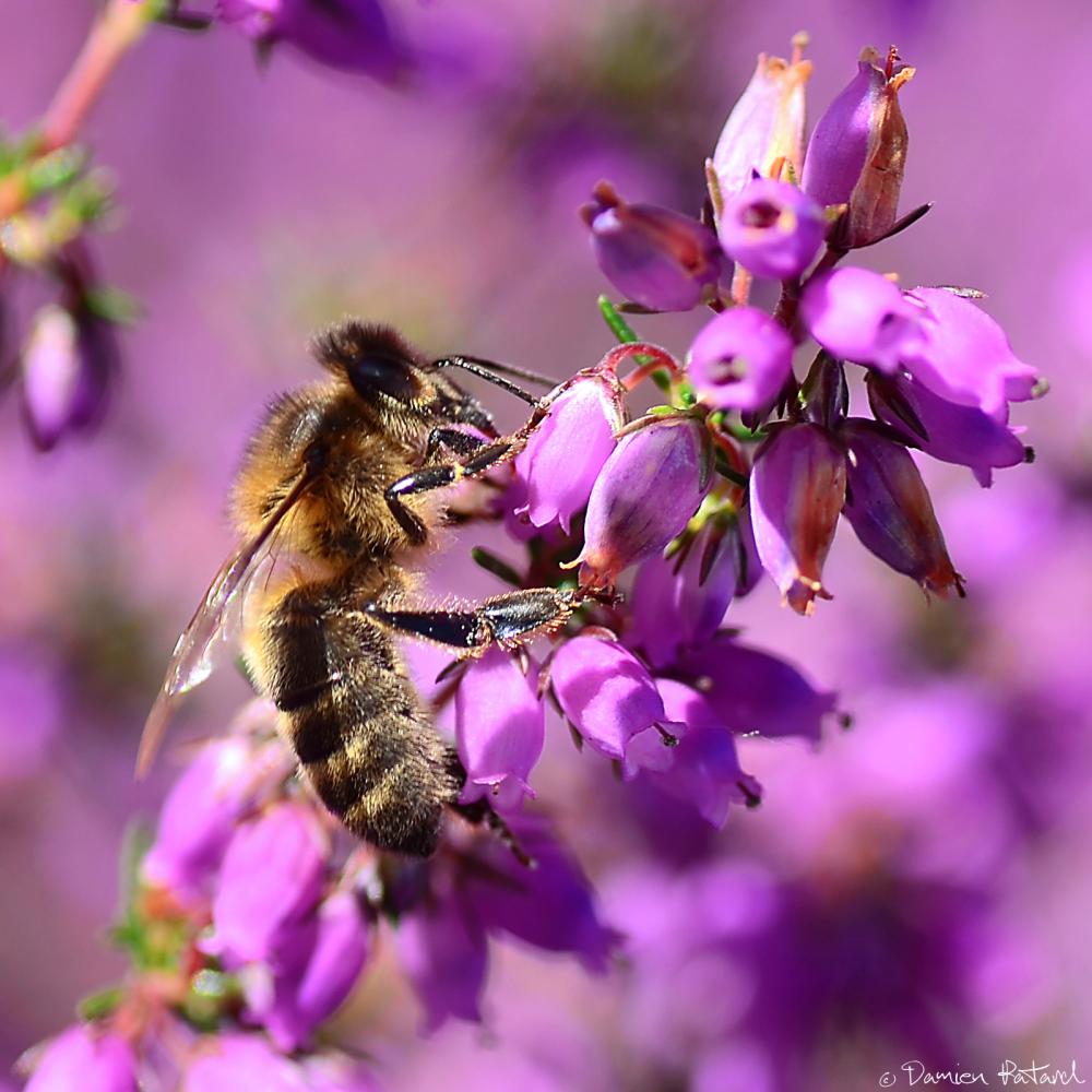 abeille macro photo insecte yeux fleur maya pollen