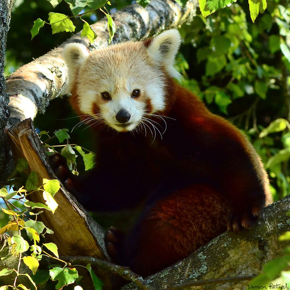 zoo Cerza panda roux